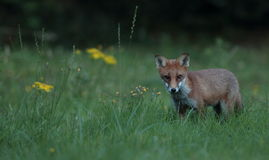 Red fox cub. Royalty Free Stock Photos