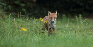 Red fox cub. Royalty Free Stock Photography