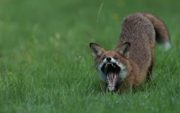 Red fox cub. Stock Photo