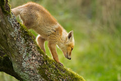 Red fox cub. Walks down a fallen tree Royalty Free Stock Image