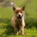 Red fox cub. Is yawning Stock Photos