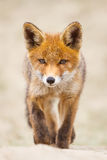 Red fox cub. A young red fox cub royalty free stock images