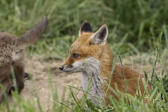 Red Fox Cub Stock Photo
