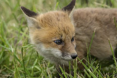 Red Fox Cub Royalty Free Stock Photo
