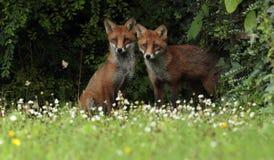 Red Fox Cubs. Stock Photos