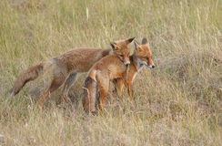 Red fox cubs Stock Photos