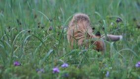 Red fox cubs cuddling stock video