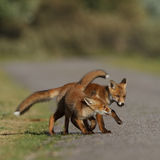Red fox cubs playing. With echather Stock Photo