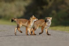 Red fox cubs playing Royalty Free Stock Photo