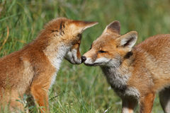 Red fox cubs playing. With echather Royalty Free Stock Image