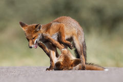Red fox cubs playing Stock Photo