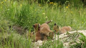 Red fox cubs playing near the burrow, stock footage