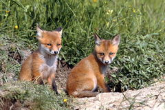 Red fox cubs resting near the burrow Royalty Free Stock Image