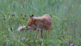 Red fox with cubs stock video