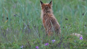 Red fox with cubs stock footage