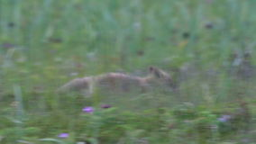 Red fox with cubs stock video footage