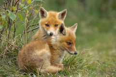 Red fox cubs. Two Red fox cubs sitting together in the grass Stock Image