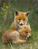 Red fox cubs royalty free stock image