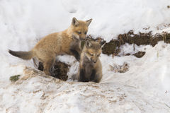 Red fox cubs Stock Photography