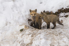 Red fox cubs Stock Images