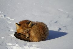 Red fox curled up in a snowbank. Found near Churchill, Manitoba stock image