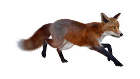 Red Fox. 3D digital render of a red fox isolated on white background Royalty Free Stock Photography