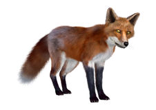 Red Fox. 3D digital render of a red fox standing  on white background Stock Photos