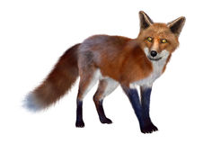 Red Fox. 3D digital render of a red fox  on white background Royalty Free Stock Image
