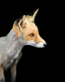 Red fox on dark background Royalty Free Stock Photos