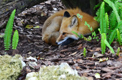 Red Fox in Den Stock Photos