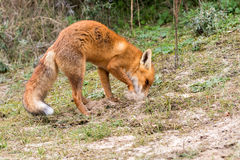Red Fox. Royalty Free Stock Photography