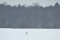Red fox diving into the snow Stock Photography