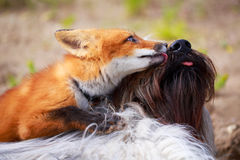 Red fox and dog Stock Photos