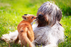 Red fox and dog Royalty Free Stock Photography