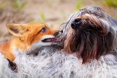 Red fox and dog Royalty Free Stock Image