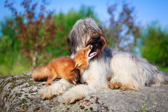 Red fox and dog Royalty Free Stock Photos