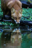 Red fox drinking Royalty Free Stock Images