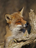 Red fox in the dunes. Closeup from a red fox Royalty Free Stock Photography