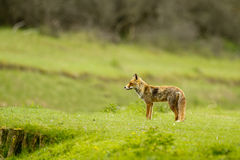 Red fox in the dunes Stock Image