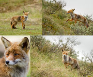 Red fox in the dunes Stock Images