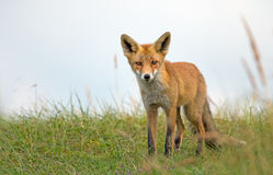 Red fox in the dunes Royalty Free Stock Image