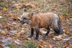 Red Fox Eating a Mouse. In northern Montana stock images