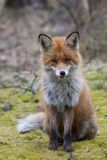 Red fox. European red fox begging for a treat Royalty Free Stock Photo