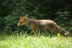 The Red Fox Royalty Free Stock Photos