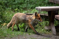 The Red Fox Royalty Free Stock Photography
