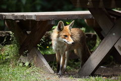 The Red Fox Royalty Free Stock Images