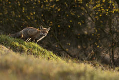 Red Fox. In evening backlight Stock Photography