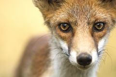 Red fox eyes. Red fox staring - eyes closeup Royalty Free Stock Images