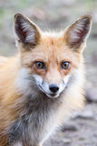 Red Fox Face. Red fox furry fussy face yellow eyes and large ears at sunrise stock images