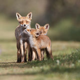 Red fox family. A red fox family posing in the dunes
